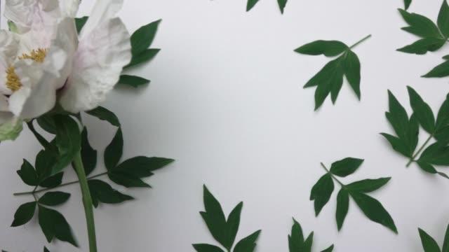 beyaz arka plan üzerinde izole desen yeşil yaprak peony çiçek bitki video. bir adamın elinde pembe bir şakayık güzel bir büyük çiçek bir kompozisyona koyar. üstten görünüm. tam hd video, 240fps, 1080p. - full hd format stok videoları ve detay görüntü çekimi