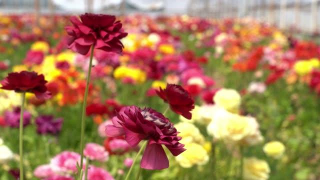 UHD Video Of Ranunculus Flowers In Wind