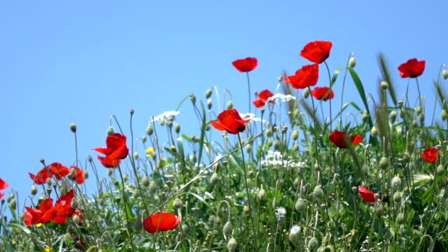 Video Of Red Poppies On Blue Sky video