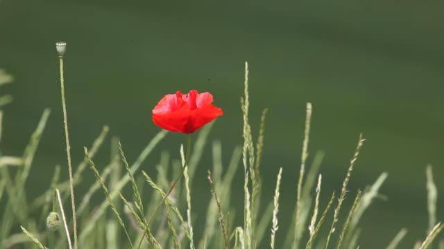 HD Video OF Red poppy swinging In Spring Wind video