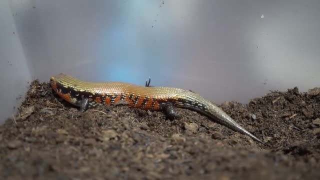 Video of skink diving on the ground Lizard is a fire skink skink stock videos & royalty-free footage