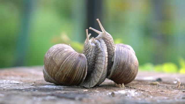 Video of snails love in 4K video