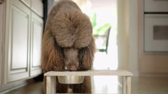 4K Video of Standard Poodle drinking water from a bowl in the kitchen