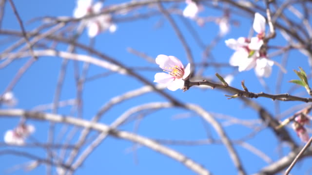 UHD Video Of Swinging Apricot Flower On Clear Blue Sky video