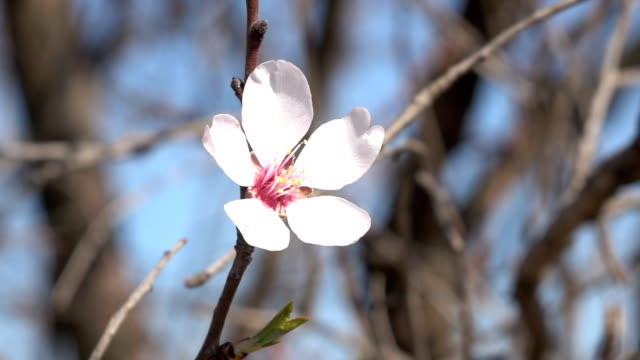HD Video Of Swinging Apricot Flower On Clear Blue Sky video