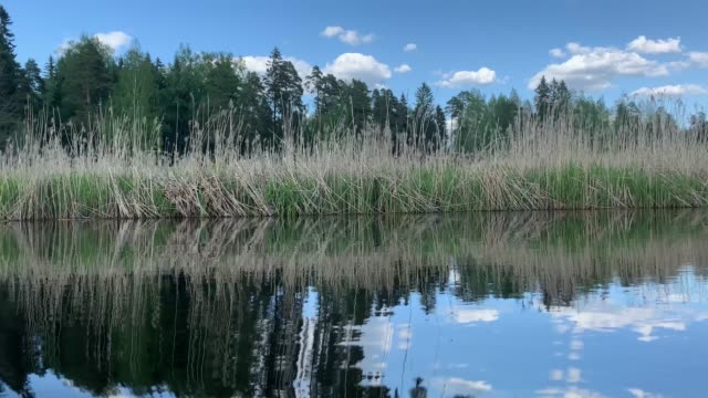 Video of the high dry cane on the river, trees of forest on a background, picturesque water reflection view from the floating boat, A field of tall grass, wild place