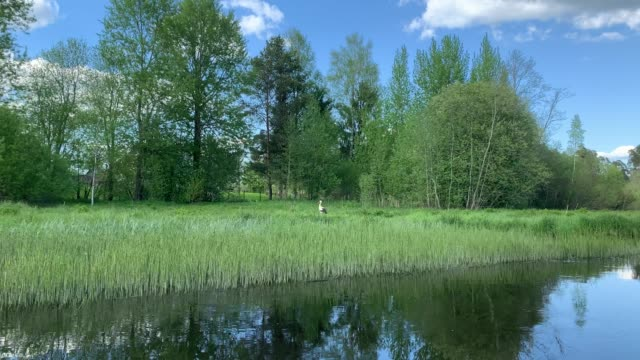 Video of the stork is in canes and eats frogs, the high green cane on the river, trees on a background, picturesque water reflection view from the floating boat, A field of tall grass, wild place