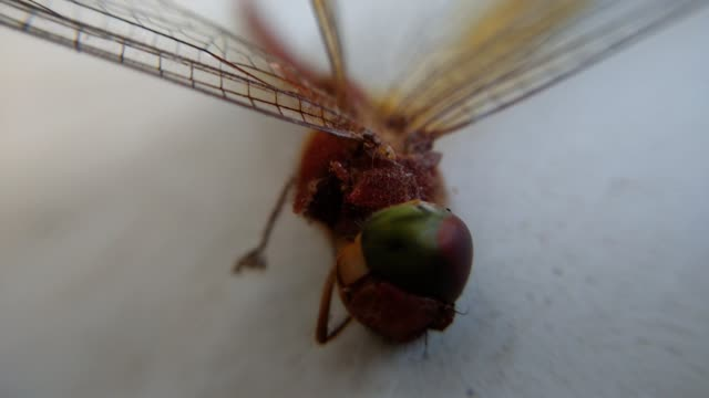 video of two small ants eating dead dragonfly  from inside. - group of people filmów i materiałów b-roll