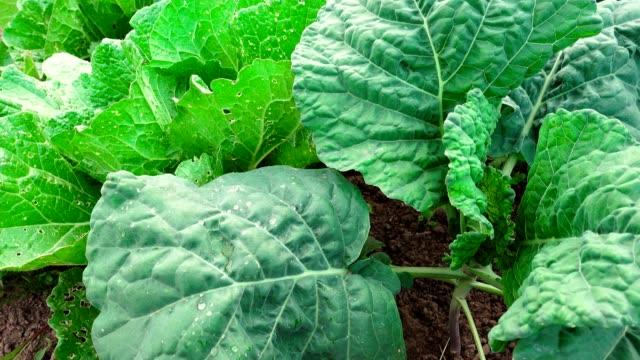 video of unripe green cabbage in the garden - crucifere brassicali video stock e b–roll