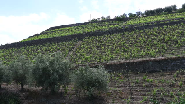 Video of vineyards of the Ribeira del Douro_Portugal