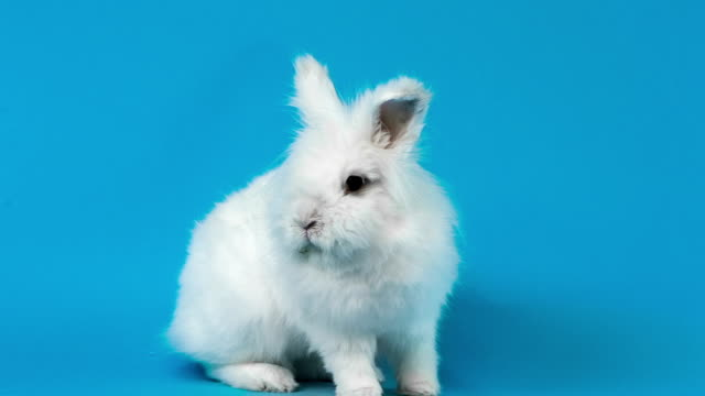 Video of white rabbit on blue screen video