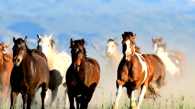 HD Video of Wild Horses Run Across Field in a Stampede Western USA