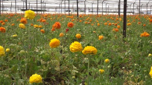 UHD Video Of Yellow Ranunculus Flower In Garden video