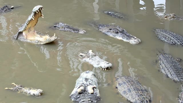 Video photo Photographing large crocodiles Floating in the river To find food to eat in the daytime