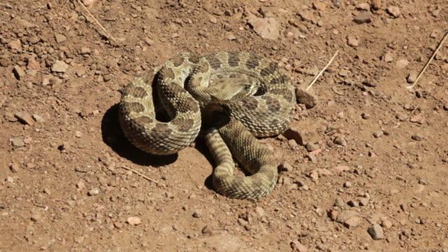 HD video rattlesnake rattling on hiking trail Colorado