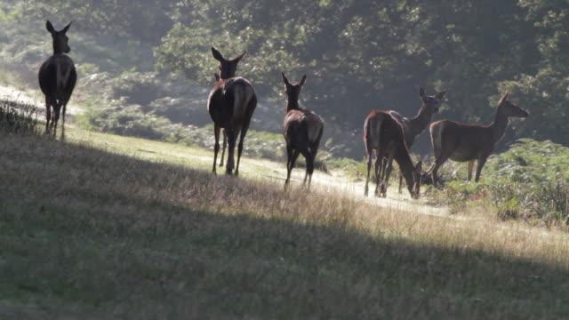 HD video red deer hinds Cervus elaphus in September video