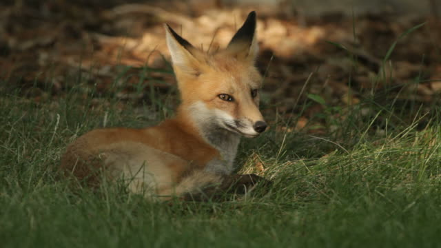 Vídeo em HD red fox de Denver, Colorado - vídeo