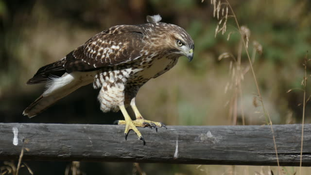 HD video red-tailed hawk hunting Evergreen Colorado Next to gurgling waters of Bear Creek just outside Evergreen, Colorado, a female, juvenile red tailed hawk looks for prey below in the tall grass while walking along a wooden fence. hawk bird stock videos & royalty-free footage