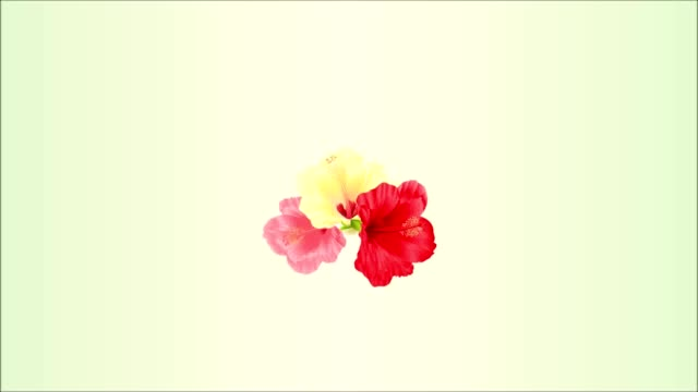Video seamless loop animation of illustration bouquet with tropical flowers  floral arrangement, with  red pink and yellow hibiscus and white orchid palm,philodendron  vintage