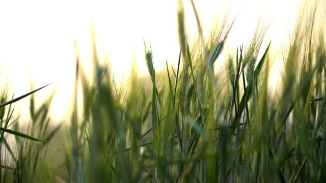 4K Video selective focus close up shot of beautiful natural organic green barley wheat swaying in the soft wind blow against sunlight at evening sunset with blurred wheat field and sky backgrounds. CU Barley wheat field swaying in the wind at sunset b roll stock videos & royalty-free footage