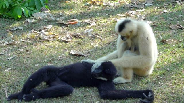 4k video selektiv fokus medium shot meerkat vilar på marken i varma soliga dagen - gibbon människoapa bildbanksvideor och videomaterial från bakom kulisserna