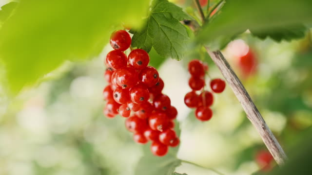 video shows of ripe redcurrant outdoors - ribes rosso video stock e b–roll