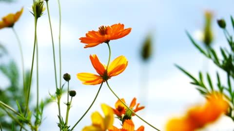 vídeos de stock e filmes b-roll de video slow motion of cosmos flower field. - florescer