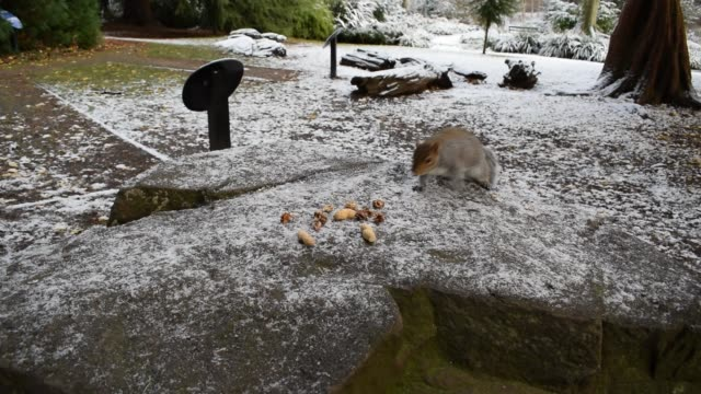 HD Video Squirrels Sheffield Botanical Gardens South Yorkshire December 2017
