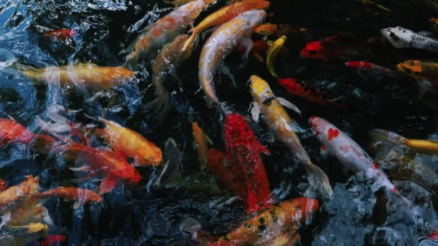 video stock Movement of swimming fancy crap or koi fish colorfish movement Believe that the energy of lucky