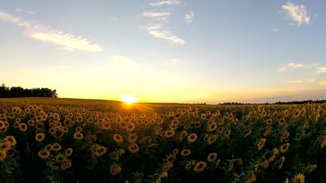 4K Video. Sunset over a Sunflowers. video