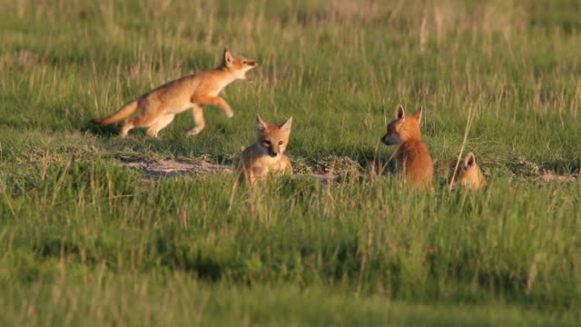 HD-video swift fox Hunde spielen Pawnee National Grassland Colorado – Video
