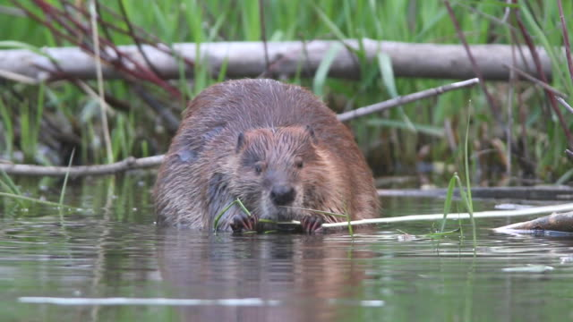 HD Video wild Colorado beaver eating swimming video