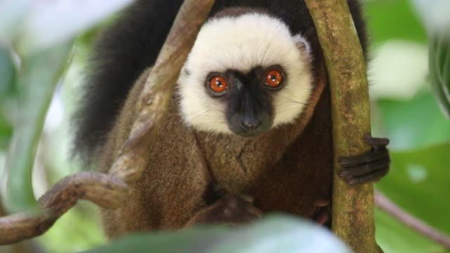 vidéos et rushes de vidéo hd wild endémique rieuse collaris curieux mangabe madagascar - animaux à l'état sauvage
