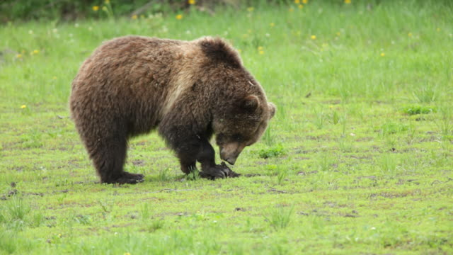 HD Video wild grizzly bear eating in National Forest Wyoming video