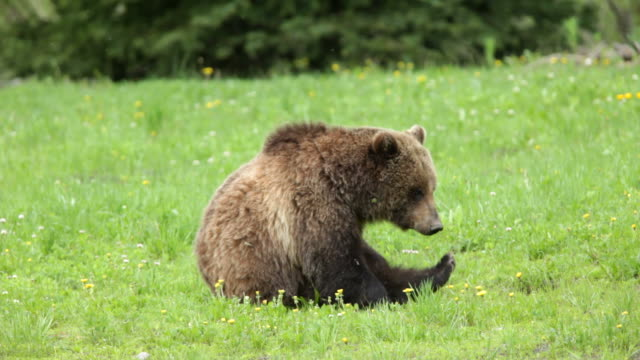 HD Video wild grizzly bear scratching National Forest Wyoming video