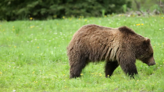 HD video wild grizzly bear walking in Teton Forest Wyoming video
