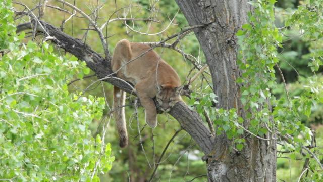 HD video Wild mountain lion in cottonwood Morrison Colorado video