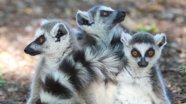 hd video wild ring-tailed lemurs in berenty reserve madagascar - lemur bildbanksvideor och videomaterial från bakom kulisserna