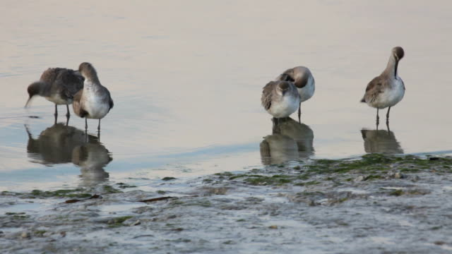 HD Video Wild Shorebirds Everglades NP Florida video