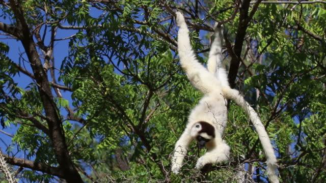 hd video wild verreaux's sifaka in berenty reserve madagascar - lemur bildbanksvideor och videomaterial från bakom kulisserna