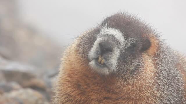 hd video wild yellow bellied marmot colorado - kemirgen stok videoları ve detay görüntü çekimi