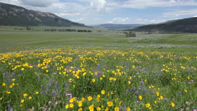 hd video wind blows wildflowers lamar valley yellowstone np wyoming - vild blomma bildbanksvideor och videomaterial från bakom kulisserna