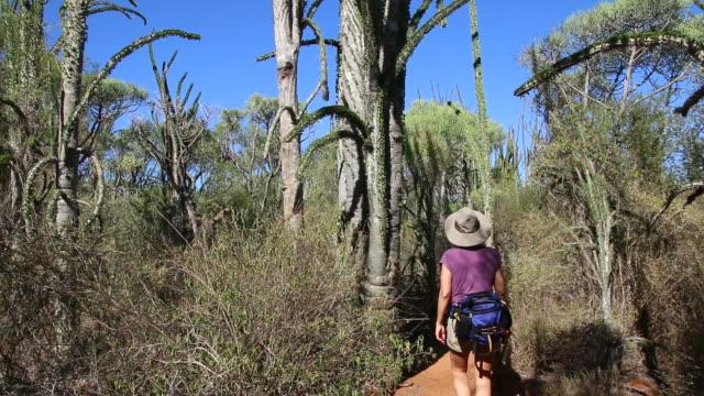 hd video woman hikes through spiny forest in southern madagascar - madagaskar bildbanksvideor och videomaterial från bakom kulisserna