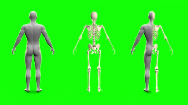 4 videos in 1, female and male skeletons and body models rotating on green screen with example of combining these videos - anatomy concept, 4K 60fps UHD 3D seamless looping animations