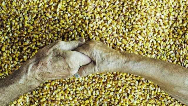 View from above senior farmers holding hands over fresh harvested yellow corn kernels,slow motion