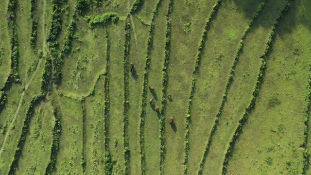 vidéos et rushes de vue d'en haut, vue aérienne étonnante d'un groupe de buffles de pâturage sur un champ de terrasse de riz vert qui forme une texture naturelle sur les collines de luang prabang, laos. - vache laitière