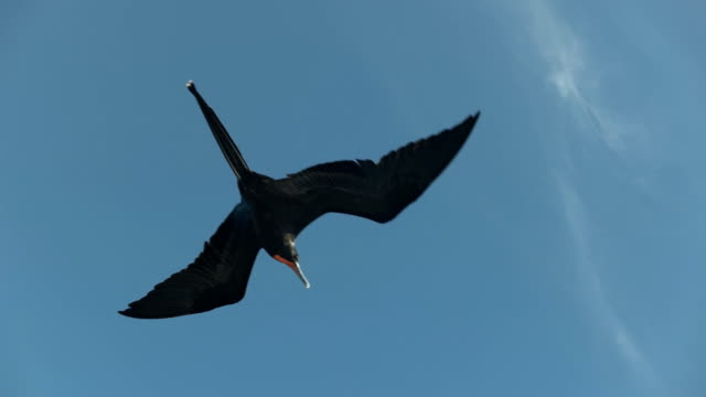 view from below of a frigatebird flying in the galalagos islands the view from below of a male frigatebird flying in the galalagos islands sac stock videos & royalty-free footage