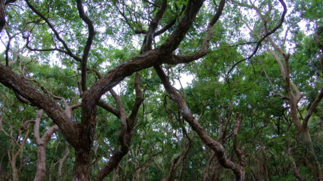 View from boat ride under mangrove tree canopy at Siem Reap Tonle Sap Kompong Phluk, Cambodia
