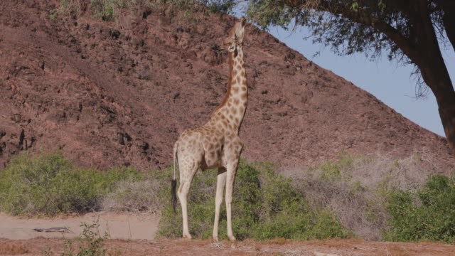4K view of a desert giraffe with out stretched neck browsing on vegetation in the Hoanib Valley,Namib Desert, Namibia
