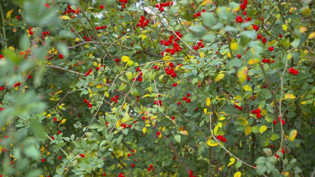 A view of a green rosehip bush